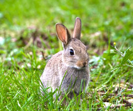 rabbit_gray_in_grass_270x224